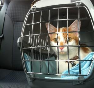 Gato na caixa de transporte