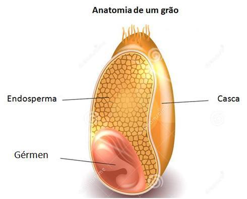 Anatomia de um grão de trigo